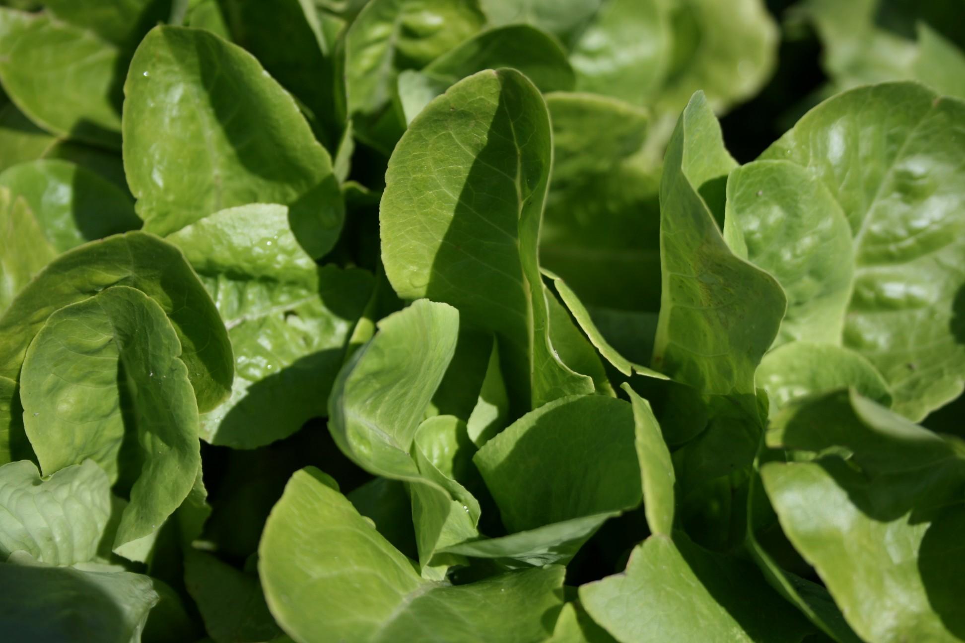 Fresh picked lettuce - How to store lettuce from garden ...
