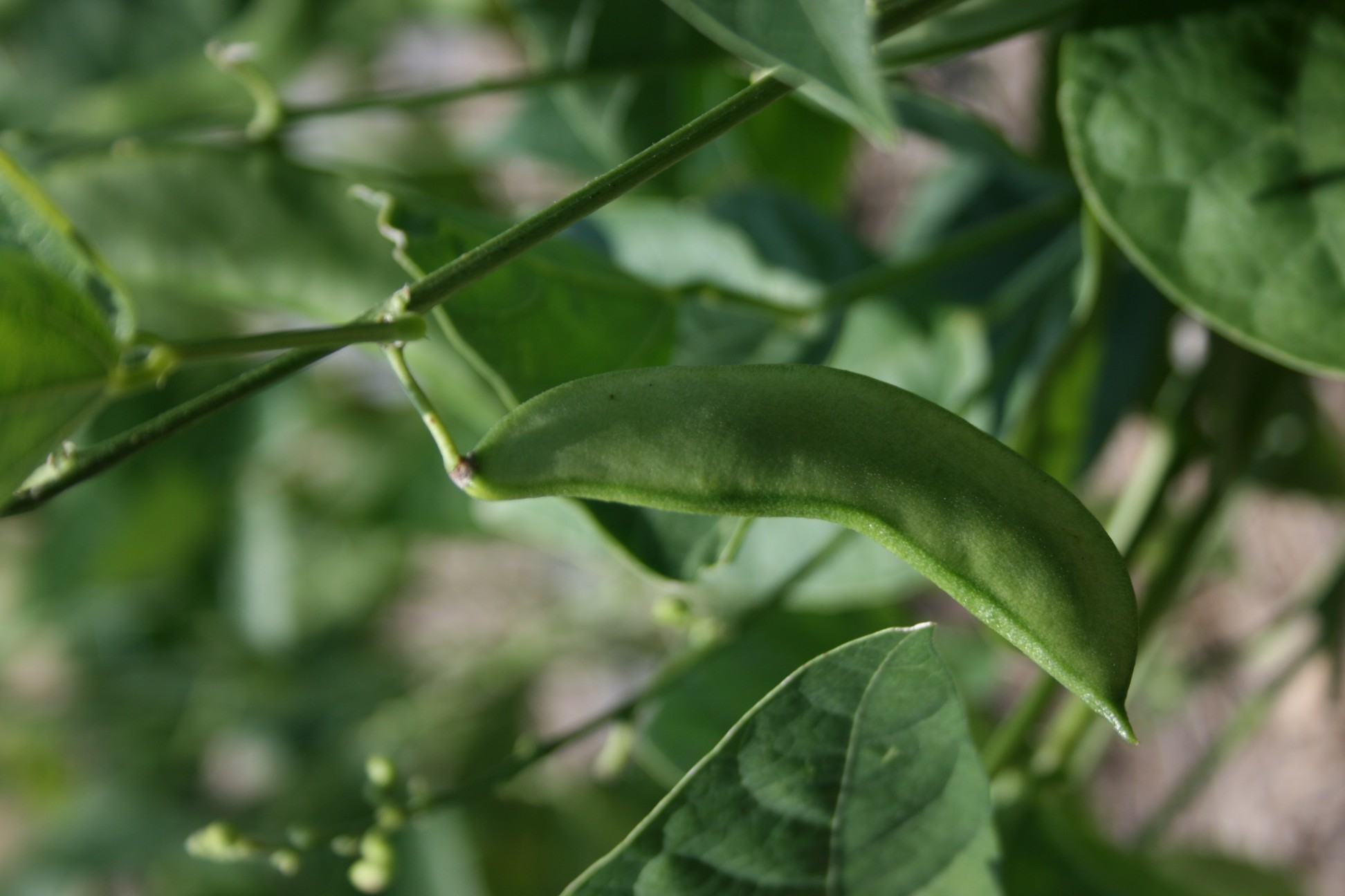 ... not to mention my bean plants produce mature pods at different rates ...