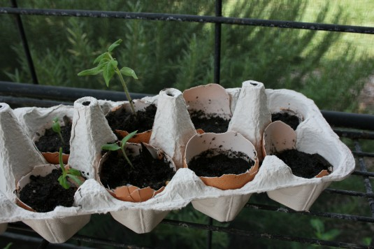 tomato seeds in eggshells ready to sprout