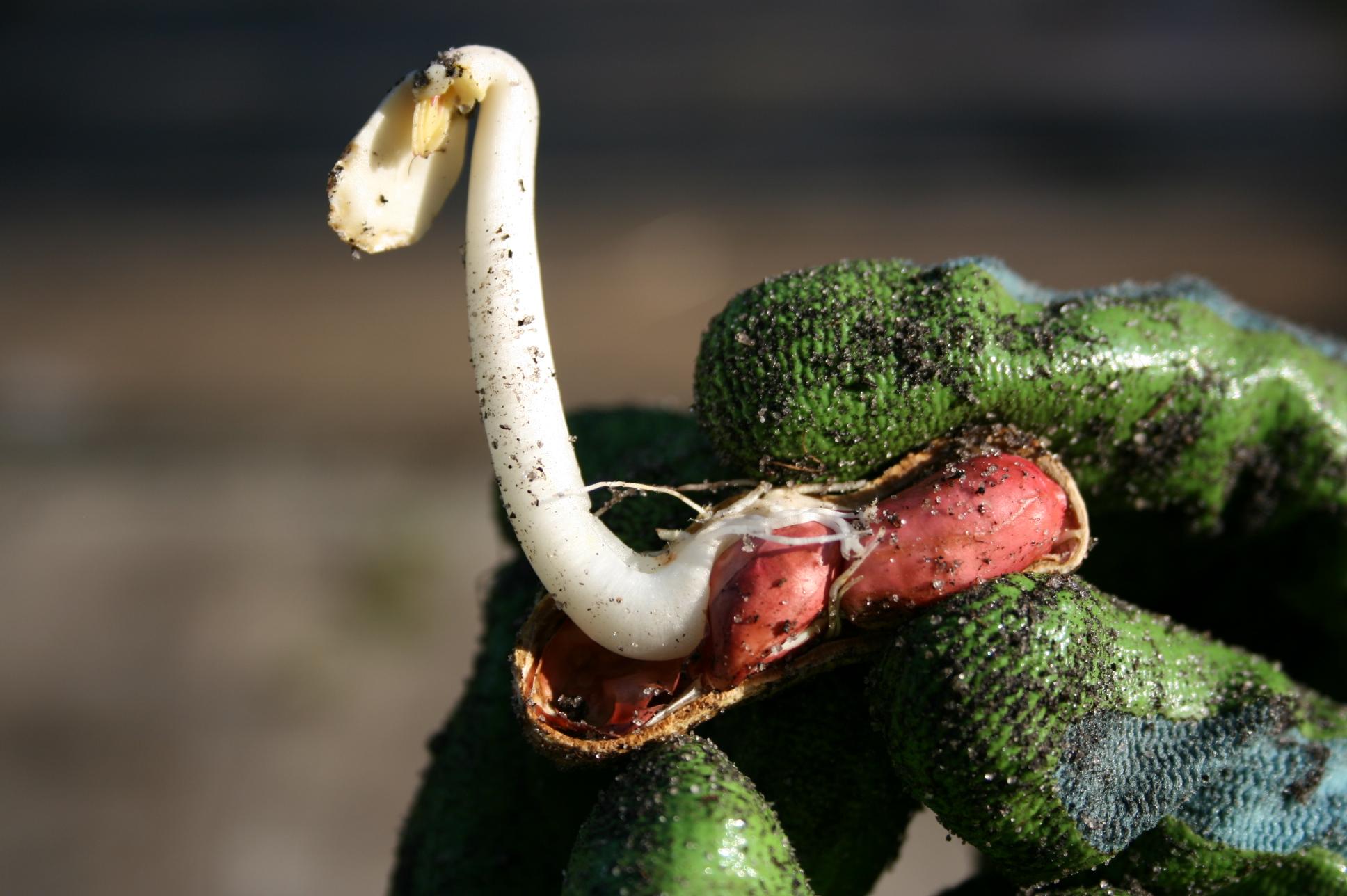 how peanuts grow - photo#32