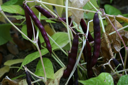 black beans at maturity
