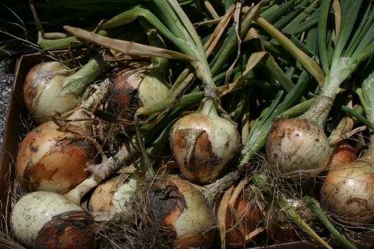 pulled a pile of sweet onions from our garden