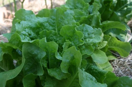 Tami's gorgeous lettuce
