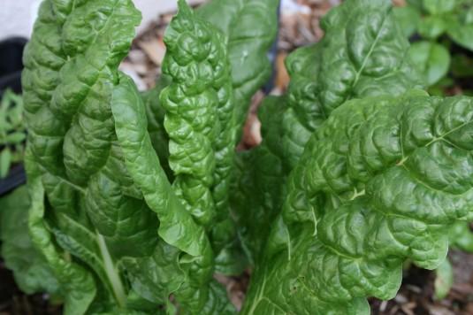 lush lettuce