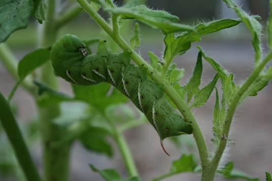 meet the tomato hornworm