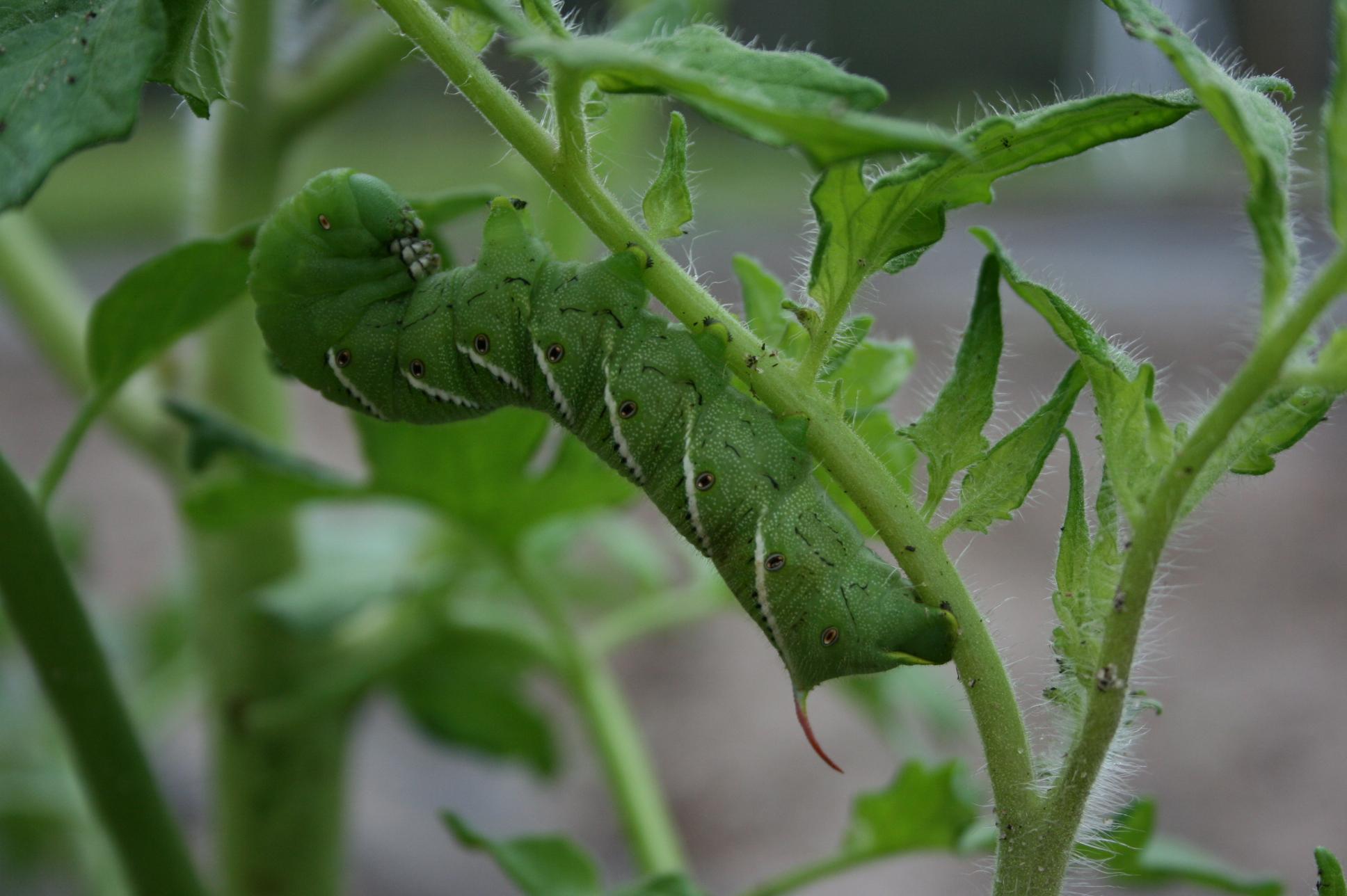 Tomato+Hornworm Tomato Hornworm Life Cycle