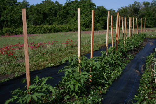 sturdy tomato stakes