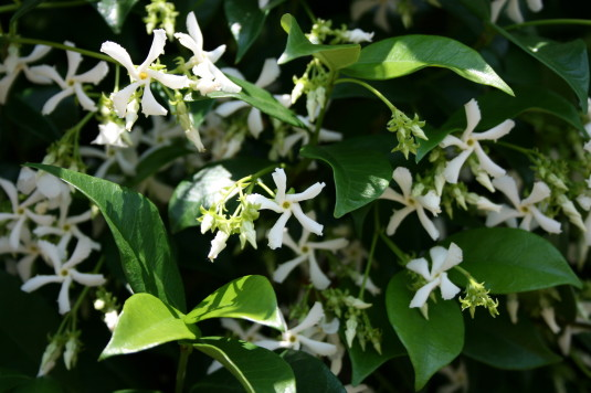 jasmine in bloom