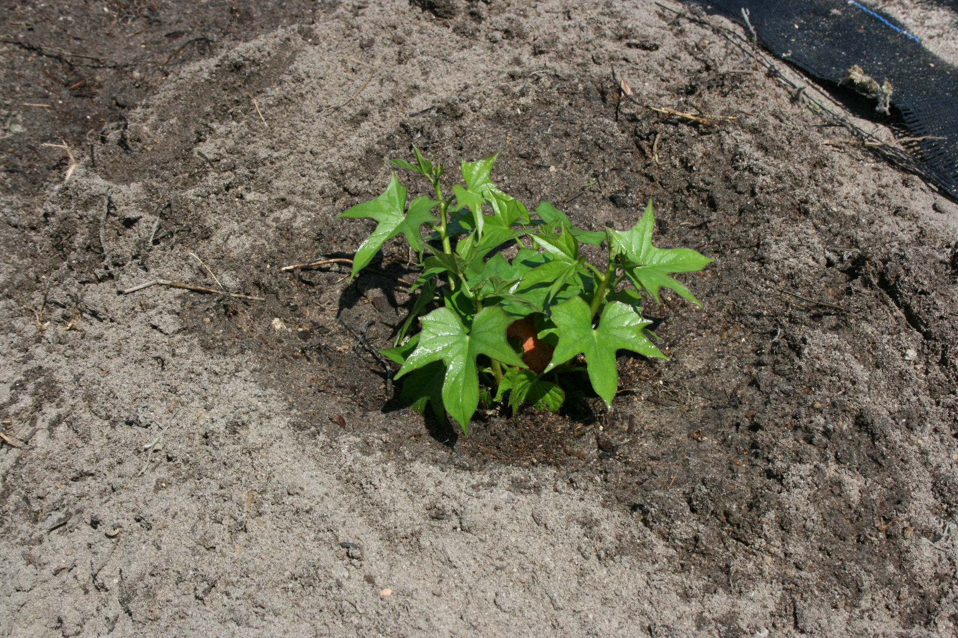 how to plant sweet potatoes Part - 18:  how to plant sweet potatoes design