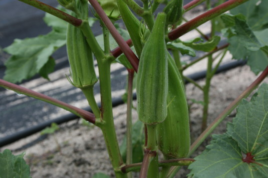 Okra in varying stages of maturity