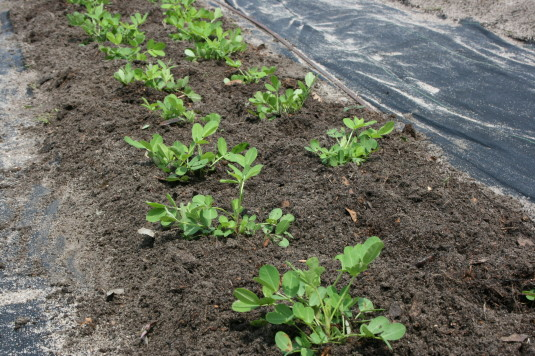 add compost to peanut plants