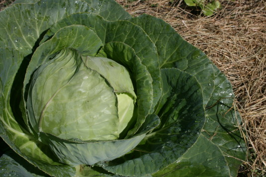 cabbage is happy