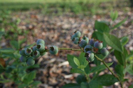 blueberries almost ready