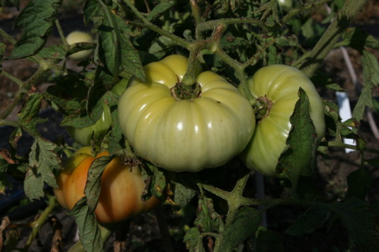 beefmaster tomatoes