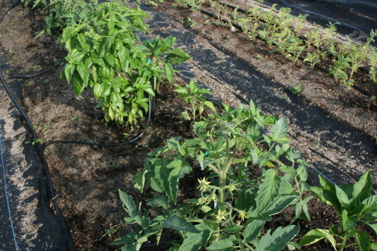 friends include tomatoes, peppers, basil