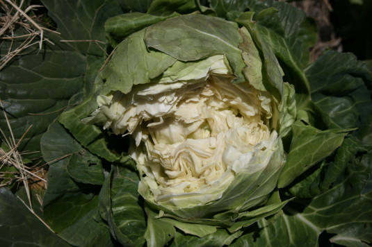 cabbage split