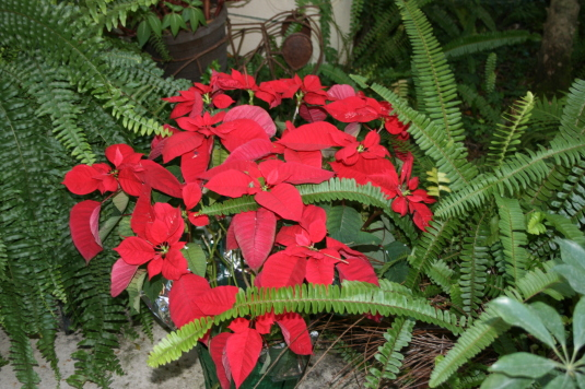 poinsettia and fern