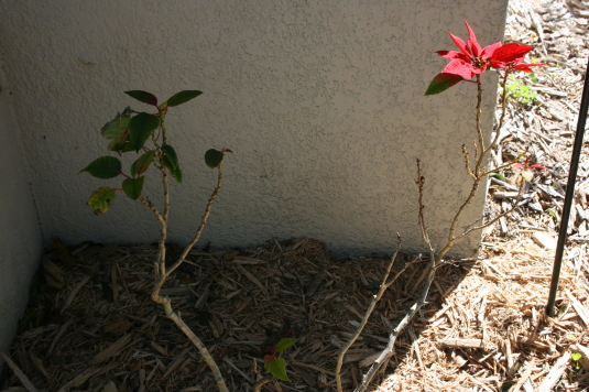 poinsettias not doing well