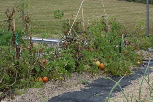 tomatoes on their last leg