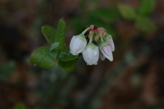 blueberry blooms 2015