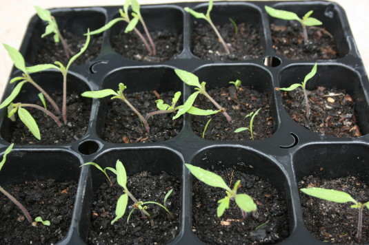sprouting tomatoes 2015