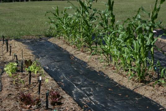 corn is faring well