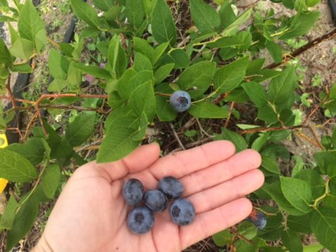 big beautiful mature blueberries