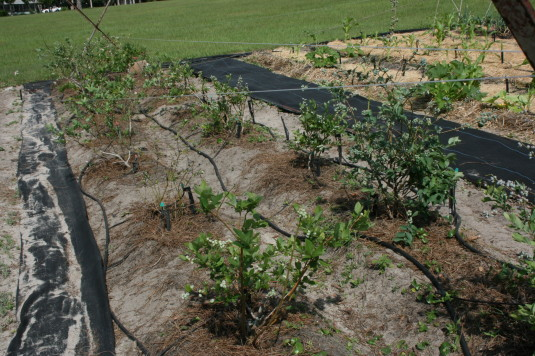 new blueberry rows