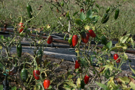 christmas-jalapeno-peppers